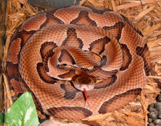 Copperhed snake