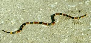 Coral_snake